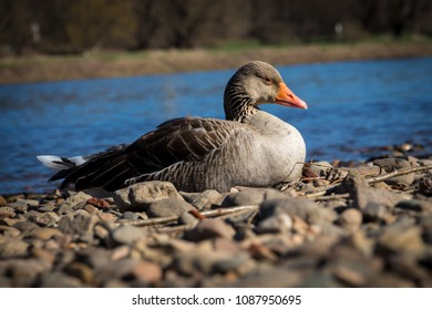 gray goose sitting at pebble stones at river Elbe in Dresden