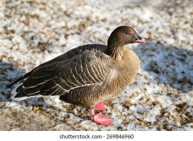 Gray goose standing in the snow is photographed close up