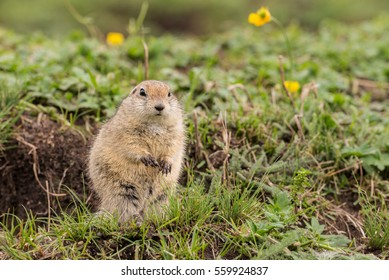 gray gopher in the grass on his hind legs