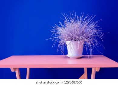 Gray grass ryegrass in a white vase on an pink table. Vase with grass on blue wall background, interior design.