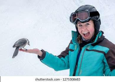 A Gray (Grey) Jay (Perisoreus canadensis), aka Canada or Whisky Jack, eats bird seeds from the hand of a teenage girl skier on the ski slopes of Steamboat Springs, in the Rocky Mountains of Colorado.