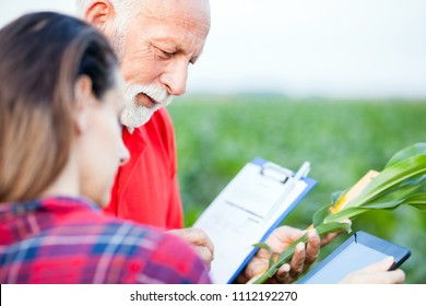 Gray haired senior agronomist and young female colleague examining corn plants in a field, checking data on a tablet and a clipboard.