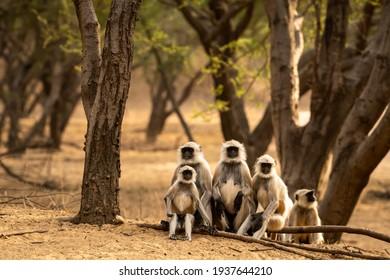 Gray or Hanuman langurs or indian langur or monkey family during outdoor jungle safari at ranthambore national park or tiger reserve rajasthan india - Semnopithecus
