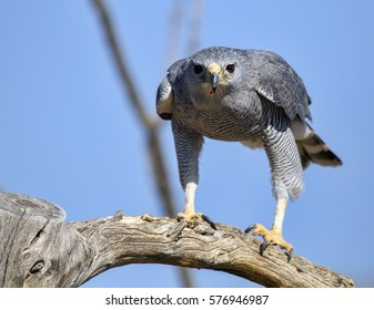 A gray hawk (Buteo plagiatus) perched on a tree branch, just before flight.