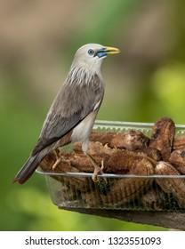 gray headed starlings