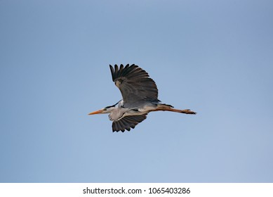 Gray heron (Ardea cinerea)  flying above river.  Wildlife in natural habitat