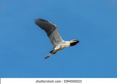 Gray heron (Ardea cinerea) flying. Wildlife in natural habitat.