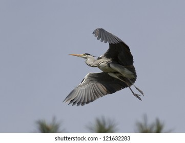 Gray heron (Ardea cinerea) flying over the forest.