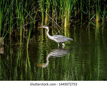 A gray heron, ardea cinerea jouyi, wades in a shallow pond in a Japanese forest park.