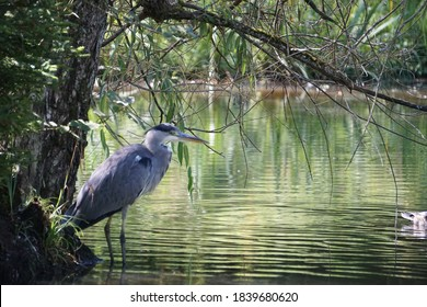 Gray Heron - Ardea cinerea, large common gray heron from lakes and rivers