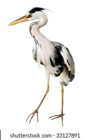 gray heron Ardea cinerea on a white background