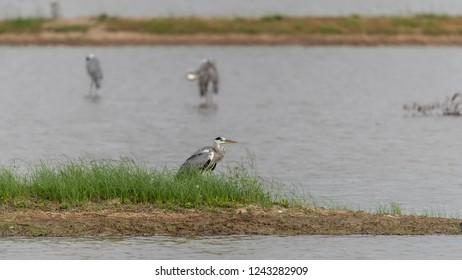Gray Heron (Ardea cinerea) perching in pond at wetland of Hong Kong