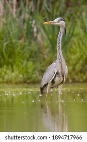 Gray heron (Ardea cinerea) photo of this big gray wading bird in his natural habitat. Bird standing in water. Background consist of wall of green reed. Diffused green background. Scene from wild natur