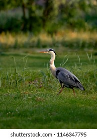 Gray heron (Ardea cinerea) - a species of large water bird from the heron family