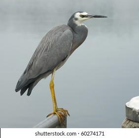 Gray heron bird sitting fence