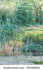 gray heron, green reeds and blue river, nature background