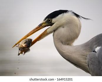 gray heron, grey heron, Ardea cinerea