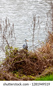 The gray heron is looking for catch
