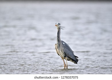 Gray heron on Dublin bay - Ireland
