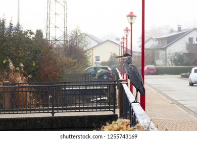Gray heron on an iron railing under red street lamps in an urban residential area