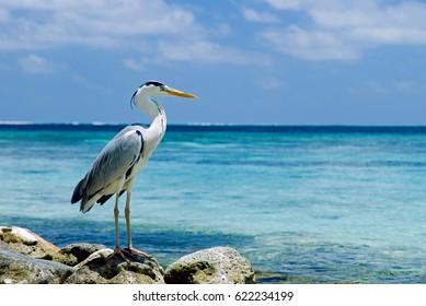 Gray Heron on rocky beach at the sea.