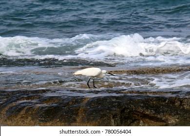 the gray heron on the seashore catches small fish