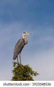 Gray heron in Parco Naturale della Maremma, Tuscany, Italy