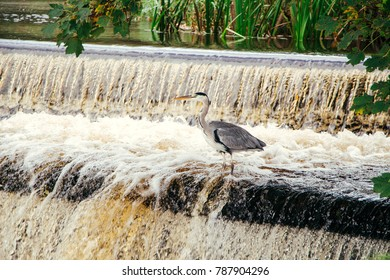 The gray heron in the river, the waterfall