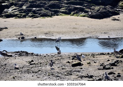 Gray heron and seagulls on the banks of the river by low tide