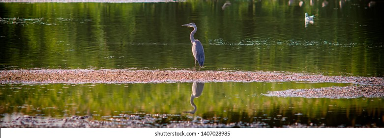 gray heron in search of food in the shoal of the lake in the evening. Summer season.Web banner. Ukraine. Europe.