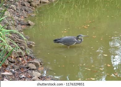 Gray heron stands in the pond and hunts for fish