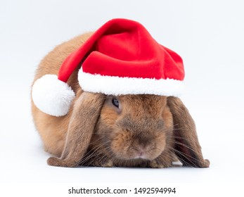 Gray holland lop rabbit wear the santa claus red hat on white background.