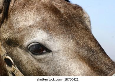gray horse eye closeup