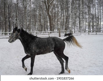 A gray horse gallops in a paddock in winter in the snow.