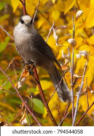 Gray jay bird