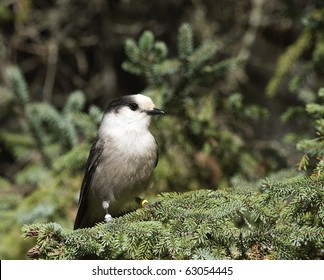 gray jay sitting on a branch in the forest