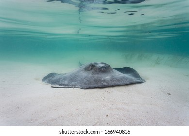Gray, juvenile southern sting ray propels itself along sea bed on barrier reef in Belize