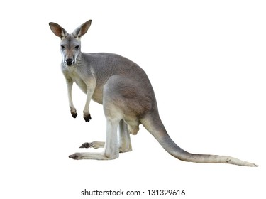 gray kangaroo isolated on a white background