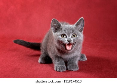 Gray kitten British cat meows on a red background