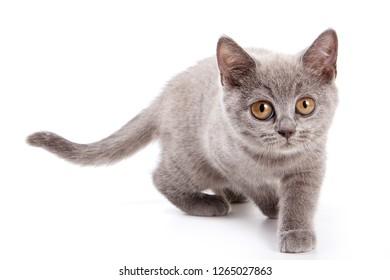 Gray kitten of British cat walks (isolated on white)