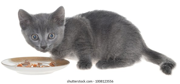 Gray kitten eating cat food from a bowl on a white background.