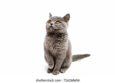 gray kitten isolated on white background