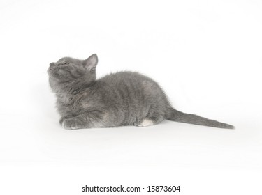 A gray kitten laying down and looking up on a white background. One in a series
