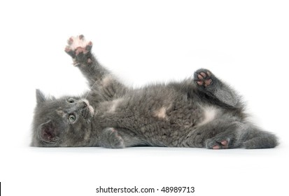 Gray kitten laying down while playing on white