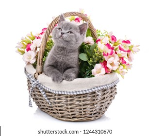 Gray kitten on photo studio. Kitty put his paws on the edge of the basket and looking up. Gray fluffy kitten on a white background. Purebred kitten at the photo studio