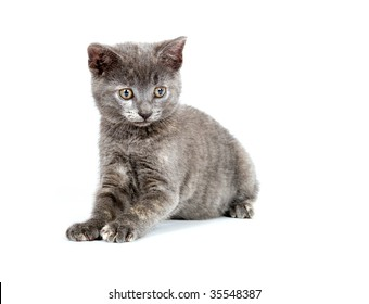 gray kitten pouncing on a white background
