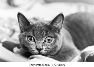 gray kitten ready to pounce black and white.
