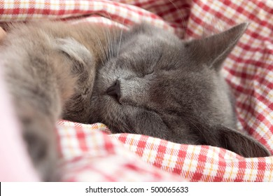 Gray kitten sleeping sweetly on his back, stretched out paw - on a red checkered background