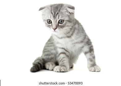 Gray kitty