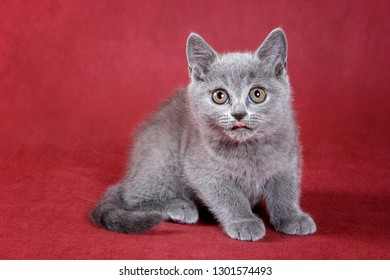 Gray kitty british cat on red background